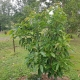 Young and developing Secondo Avocado Tree won't be long before it fruits