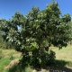 Very well established Secondo Avocado Tree notice it is grown on a mound for good drainage