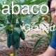 Grafted vs Cutting Babaco in Cold Climates