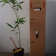 Bamboo - Oldhamii For Sale (Size: Large)  (Cutting Grown)