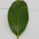Leaf of the Black Sapote - Chocolate