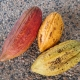 Cacao showing 3 different coloured pods they are all ripe it is just some varieties ripen with different colours