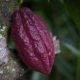 The deep colours of the Cacao pod ripening on the tree