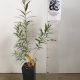 Callistemon - Slim For Sale (Size: Small)  (Cutting Grown)