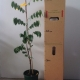 Carambola - Kembangan For Sale (Size: Large)  (Grafted)