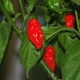 Chilli Ghost Pepper on bush