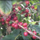 Coffee Beans turning red and ready to pick