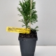 Conifer Smaragd For Sale (Medium)
