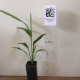 Cordyline  - Broad leaved palm lily For Sale (Size: Small)  (Grown from Seed)