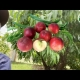 YouTube White Satin Nectarine Tree
