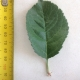 Leaf of the Dwarf Apple Red Fuji
