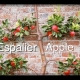 Espalier Dwarf Apple Tree Tropic Sweet