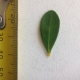 Leaf of the Eastern Cape Myrtle