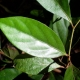 Leaf of Hairy Walnut  Endiandra pubens