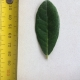 Leaf of the Feijoa Apollo