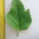 Leaf of the Fig Brown Turkey