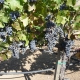 Big bunches Beautiful bunch of Cabernet Savignon grapes
