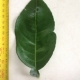 Leaf of the Grapefruit Star Ruby