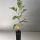 Grevillea Superb For Sale (Small)