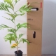 Grevillea - White Oak For Sale (Size: Medium)  (Grown from Seed)