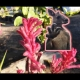 Youtube showing how the Kangaroo Paw Bush Pearl can be a beautiful addition to a Herb Garden By DaleysFruit.com.au [All Rights Reserved]