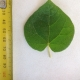Leaf of the Little Kurrajong