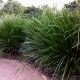 Shows Lomandra Little Pal clumping grass growing and keeping a shield between the path. Many uses like this can be achieved