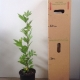 London  Plane For Sale (Size: Large)  (Grown from Seed)