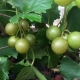 Grape Muscadine Adonis fruit on vine