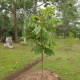 A newly planted Native Tamarind Fruit Tree