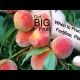 How to Grow STone Fruit