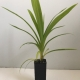 Pandanus - Edible For Sale (Small)