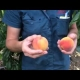 Low Chill Peaches can be grown in Coastal Areas throughout Australia