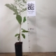Pecan - Riverside Seedling For Sale (Size: Small)  (Grown from Seed)