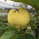 Quince Smyrna Fruiting on the Tree in front of Nursery