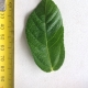Leaf of the Sandpaper fig