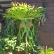 You can be inventive where you grow your staghorns they are an impressive feature plant