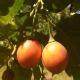 Close up of a ripening orange Tamarillo Fruit just before it is picked