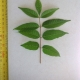 Leaf of the Toona ciliata Red Cedar