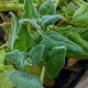 Warrigal Greens Native Spinach  being grown in the epicurious garden in southbank Brisbane as a display feature