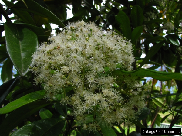 Allspice flowers