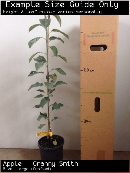 Apple - Granny Smith For Sale (Size: Large)  (Grafted)