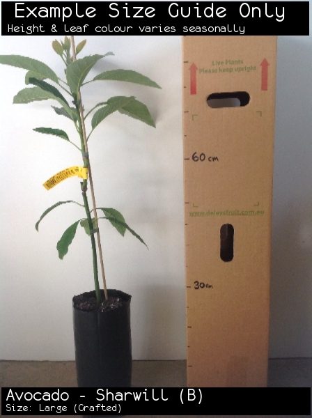 Avocado - Sharwill (B) For Sale (Size: Large)  (Grafted)