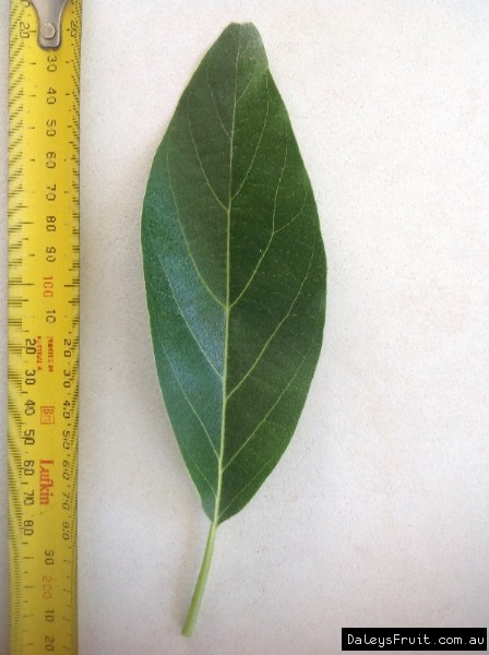 Leaf of the Avocado Sharwill B