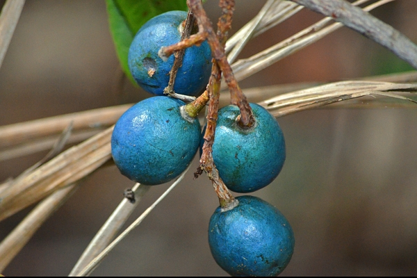 Blue Quandong fruit at the Cairns Botanic Garden