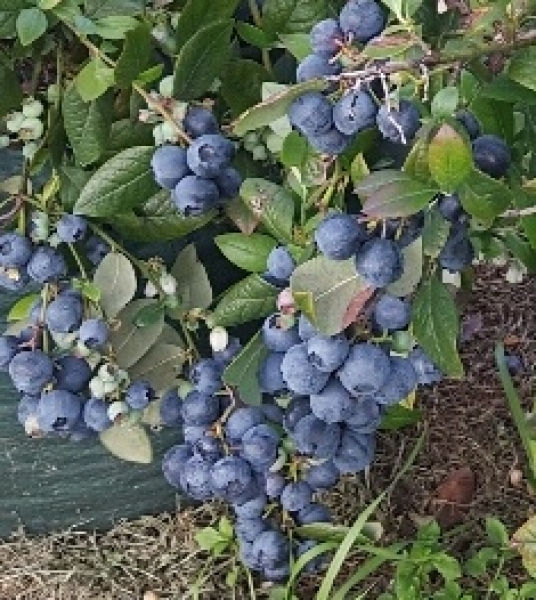 Blueberry kisses crop