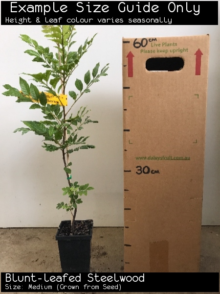 Blunt-leafed Steelwood For Sale (Size: Medium)  (Grown from Seed)