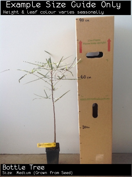 Bottle Tree For Sale (Size: Medium)  (Grown from Seed)
