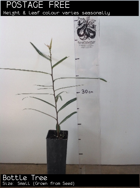 Bottle Tree For Sale (Size: Small)  (Grown from Seed)