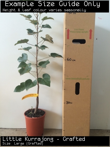 Little Kurrajong - Grafted For Sale (Size: Large)  (Grafted)